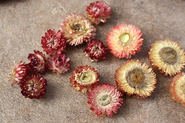 dried-strawflower