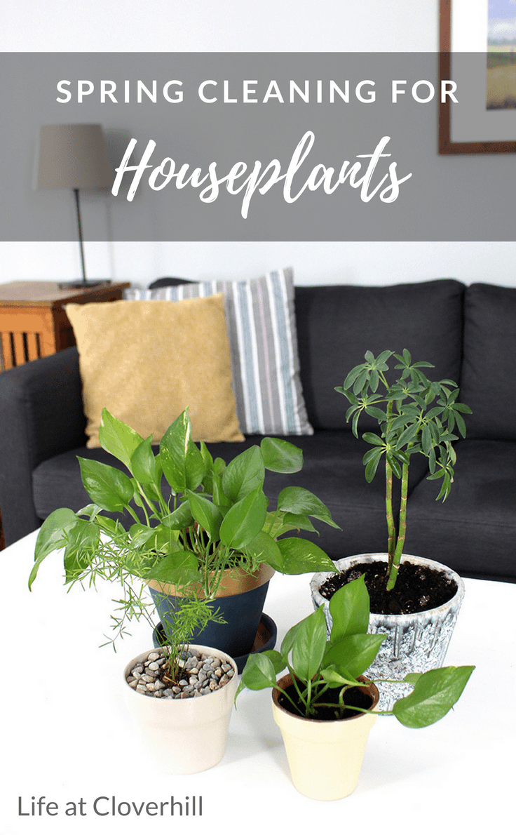 Learn all about spring cleaning for houseplants including tips for replanting, how to wash leaves and other essentials.