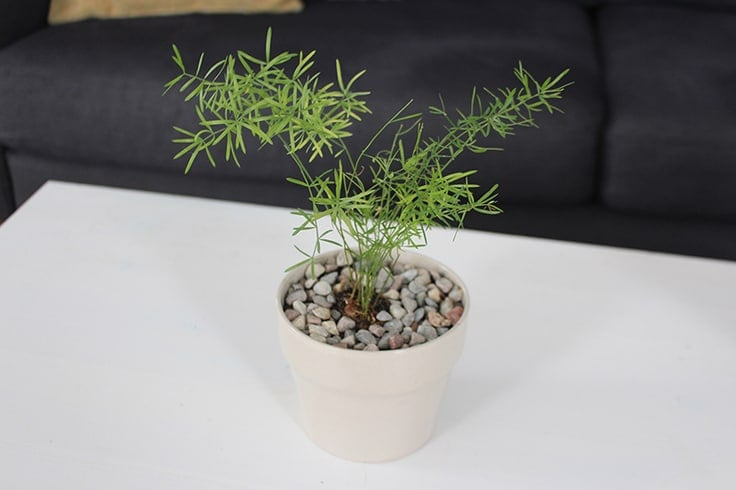 Learn how to care for a sprengeri fern houseplant.